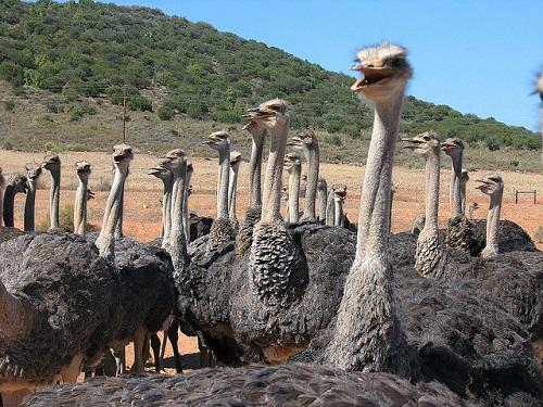 oudtshoorn-ostriches